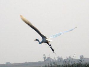 A heron in flight