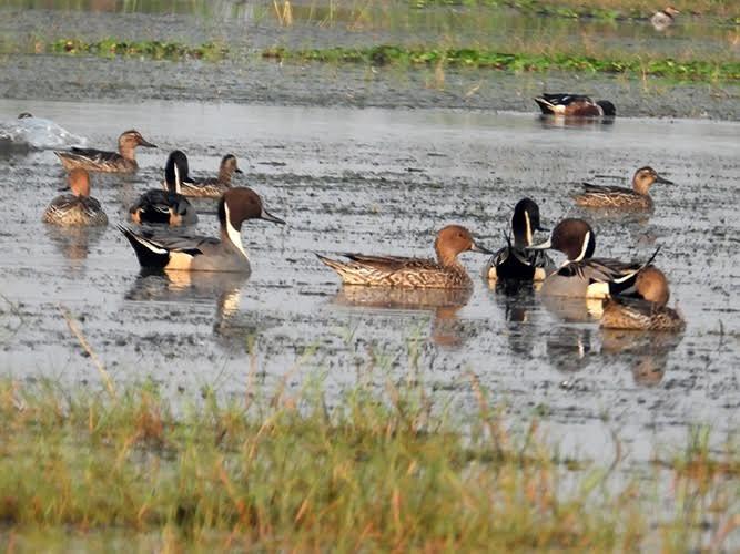 Many swimming ducks