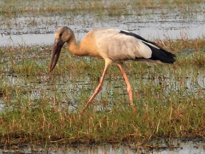 Another long-legged, long-beaked bird, with shorter plumage