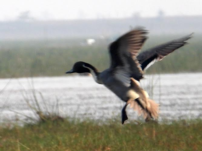 A duck, with wings spread for take off