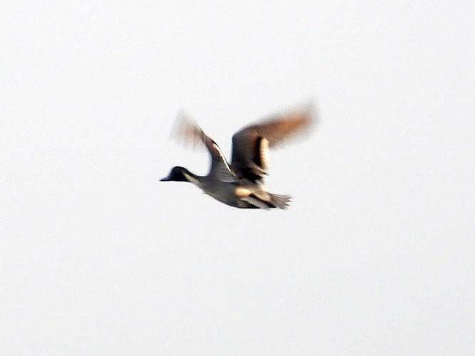 A duck in flight