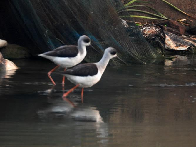 Two black-and-white birds entering the water.