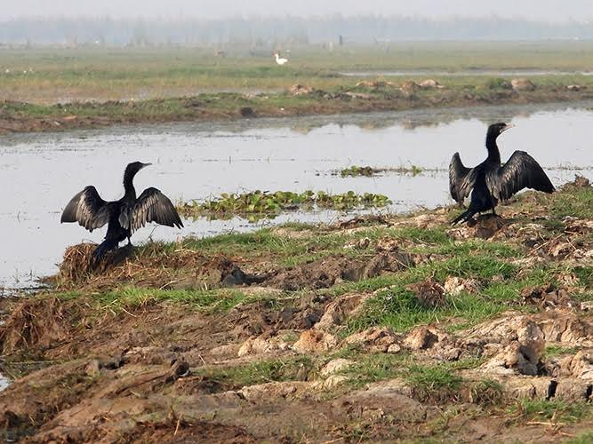 Black ducks on the ground, with wings spread.