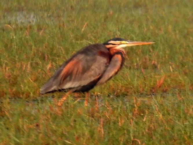Short brown bird with long beak