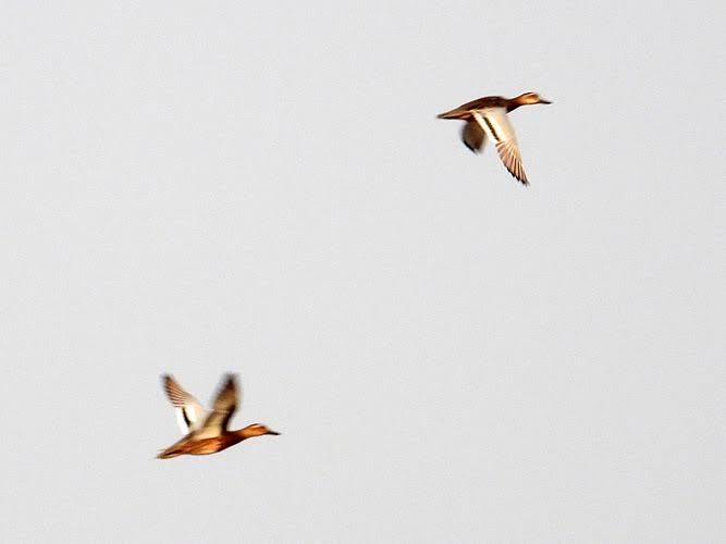 Two flying ducks