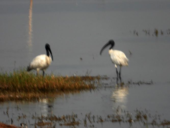 Two white birds with green heads