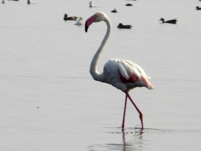 A close-up of a white flamingo