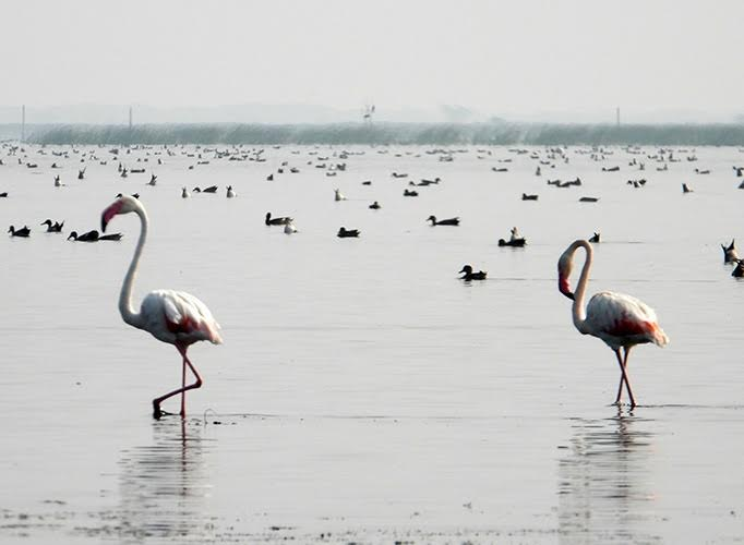 White flamingos with long curved necks, in shallow water