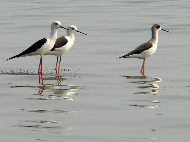 White birds with black wings standing in shallow water