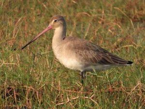 A little brown bird with a long, sharp beak