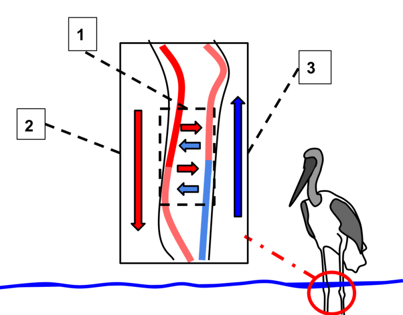 Diagram of vertical blood flow next to drawing of tall bird standing in the water.