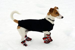 A brown and white dog in red boots standing in the snow.