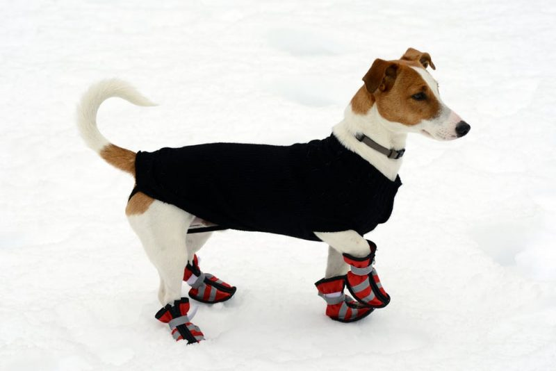 A brown and white dog in red boots and a dark jacket standing in the snow.