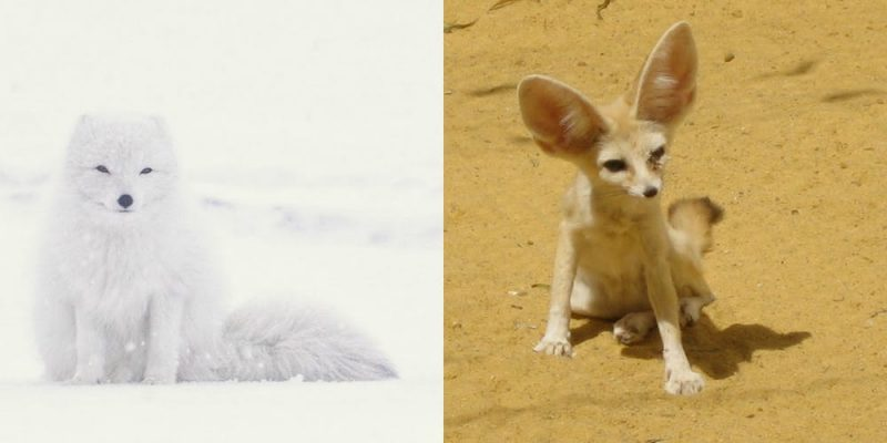 Left, a white fox with tiny ears sitting in the snow. Right, a tan fox with huge ears sitting in the sand.