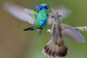 """Photo shows a A sparkling violetear and a brown violetear displaying their neck side-feathers, so-called """"ears,"""" to dissuade each other from using their weaponized bills, which have strongly serrated edges and dagger-like tips."""