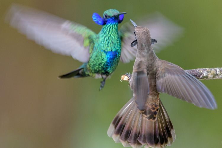 Photo shows two hummingbirds in midair displaying their neck side-feathers.