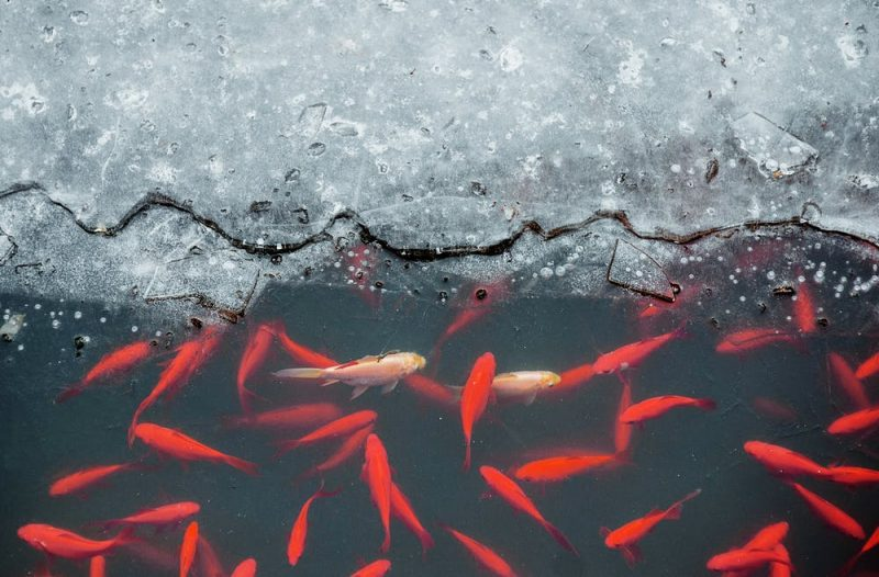 Top half of the image shows ice, bottom half shows lots of orange fish in dark water.