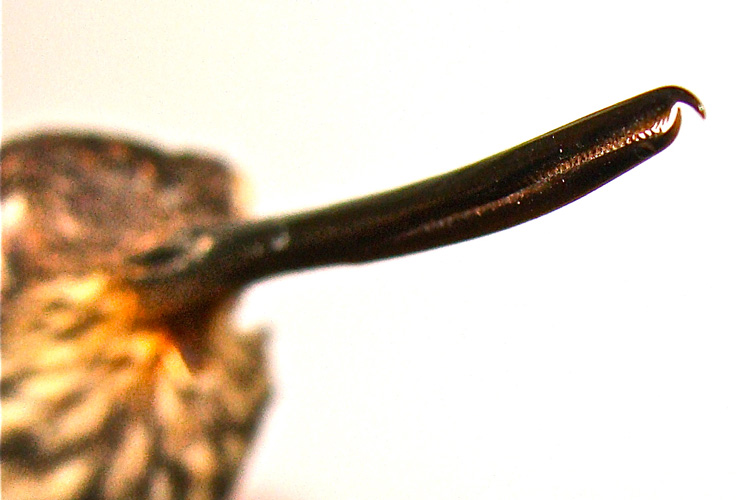 Photo of the bill of a male tooth-billed hummingbird, showing hooked tips and backward facing teeth.