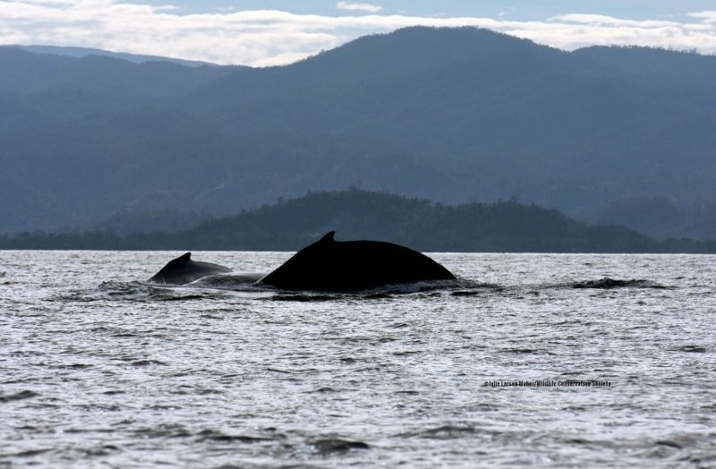 The backs of 2 humpback whales above the water with mountains in the background.