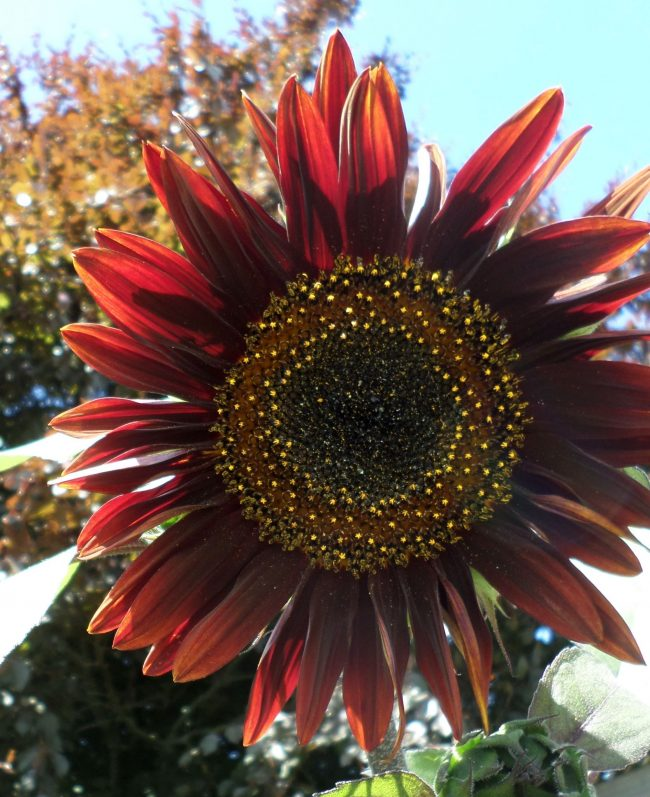 Sunflower, red petals surrounding ring of yellow dots around a black center.