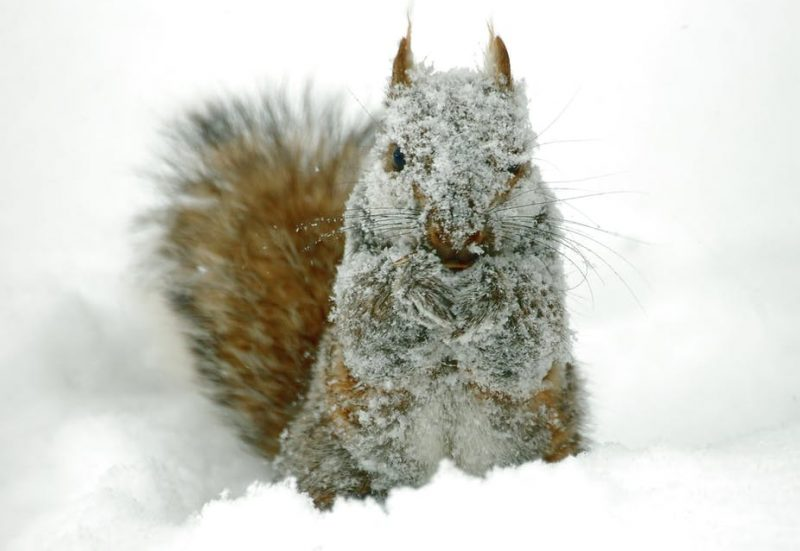 Closeup front view of a gray squirrel covered in snow