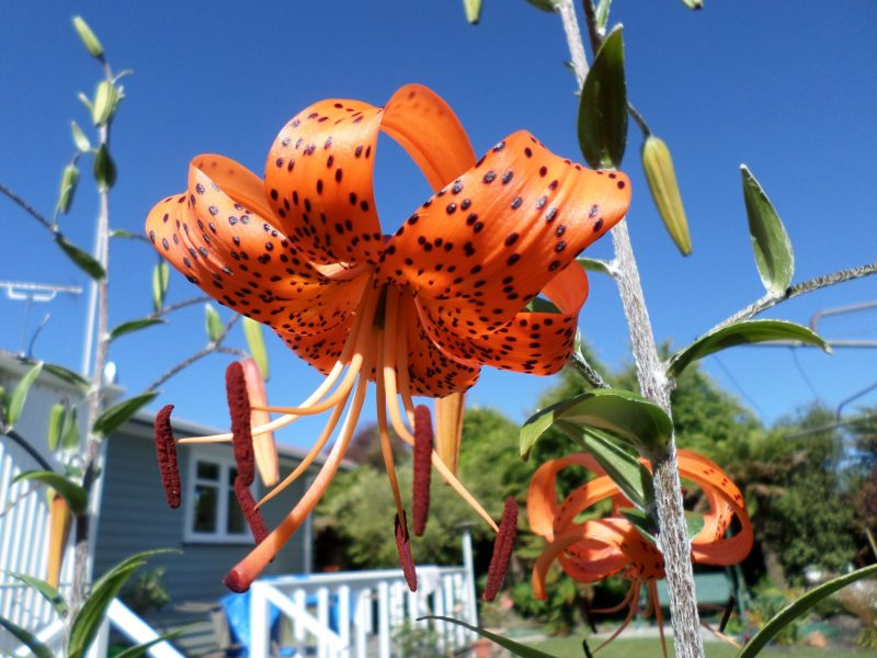 Large, brilliant orange flower with black-dotted, back-curled petals and long, prominent stamens.