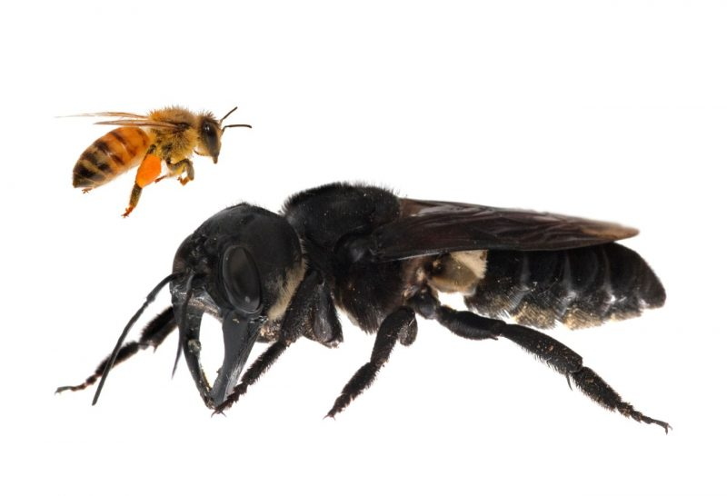 A huge black bee next to a honeybee.