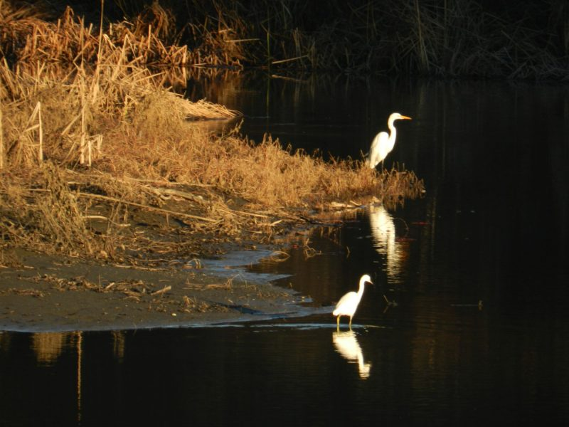 A grassy shoreline, and 2 large white birds fishing in a creek.