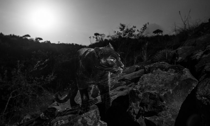 Large black feline seen in the dark, glowing eyes, standing on rocks.
