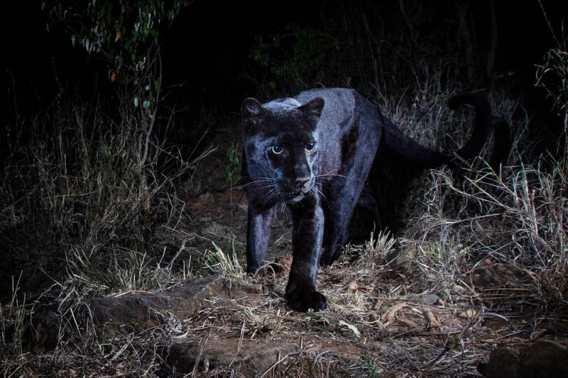 Approaching black panther with slick black coat and glowing eyes in the dark.