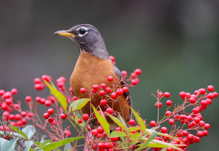 Orange-breasted bird sitting in a clump of bright red berries.
