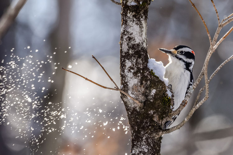 White breated bird with red spot on its head perched on a tree with snow flying outward.