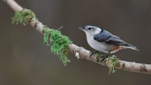 Photo of a white-breasted nuthatch