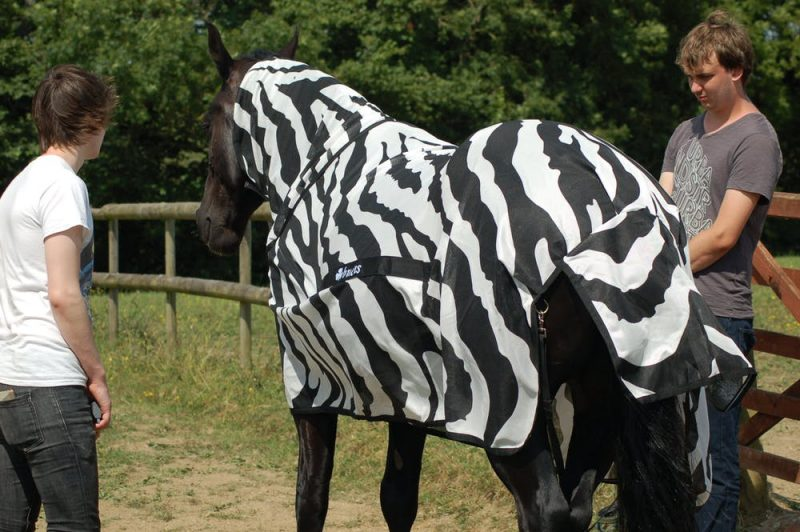 Horse wearing a zebra-stripe blanket and neck cover.
