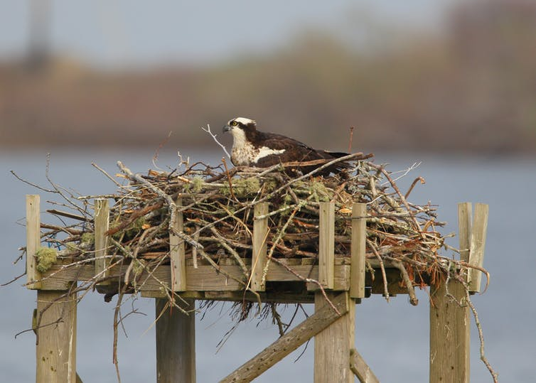 A brown and white bird sitting on a big pile of sticks atop a wooden platform.