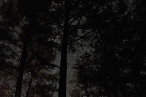 Tall pine tree silhouettes, with stars shining behind.