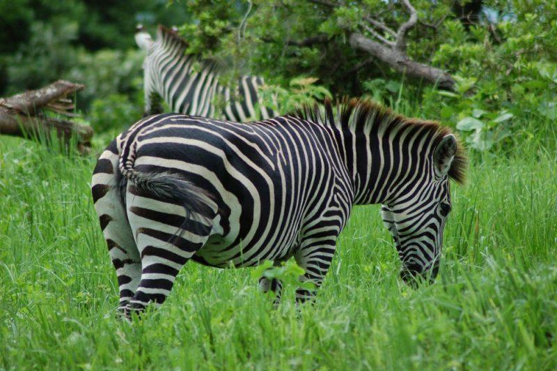 Zebra in grass.