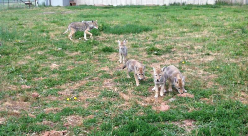 Four cute puppies in grassy area with large mother coyote in background.