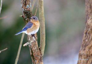Female bluebird on a branch.