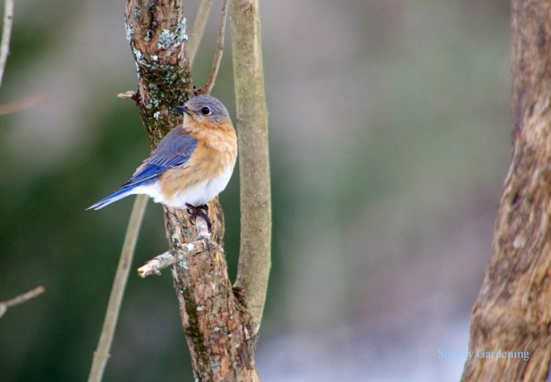Tiny bird, blue on top, tan and white underside, on a branch.