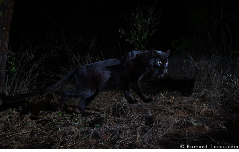Crouching black panther from side in the dark, glowing eyes visible.