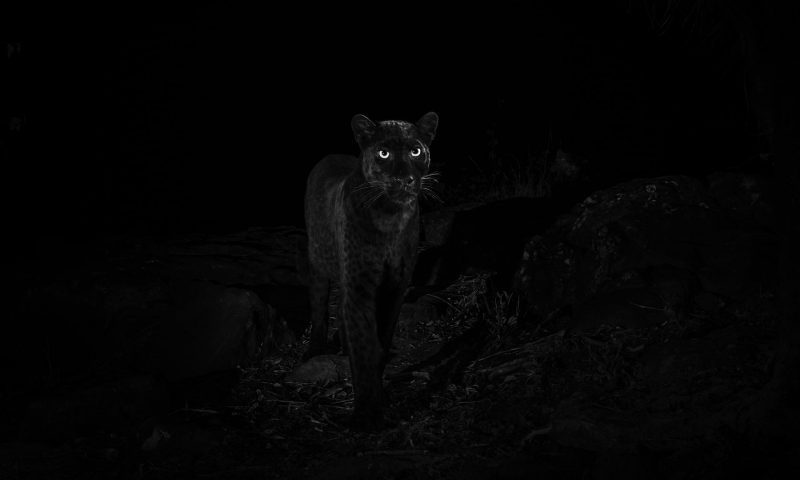Front view large black feline in the dark with glowing eyes, small round ears.