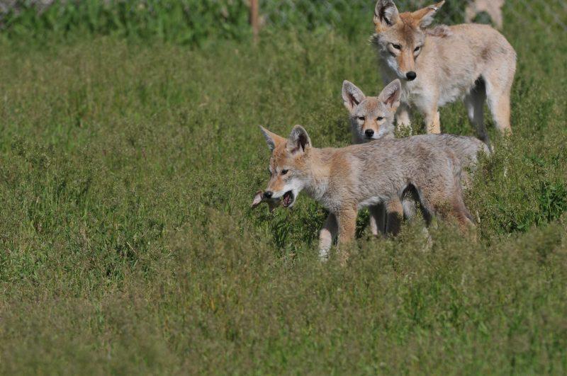 2 half-grown doglike animals with big ears followed by bigger one.