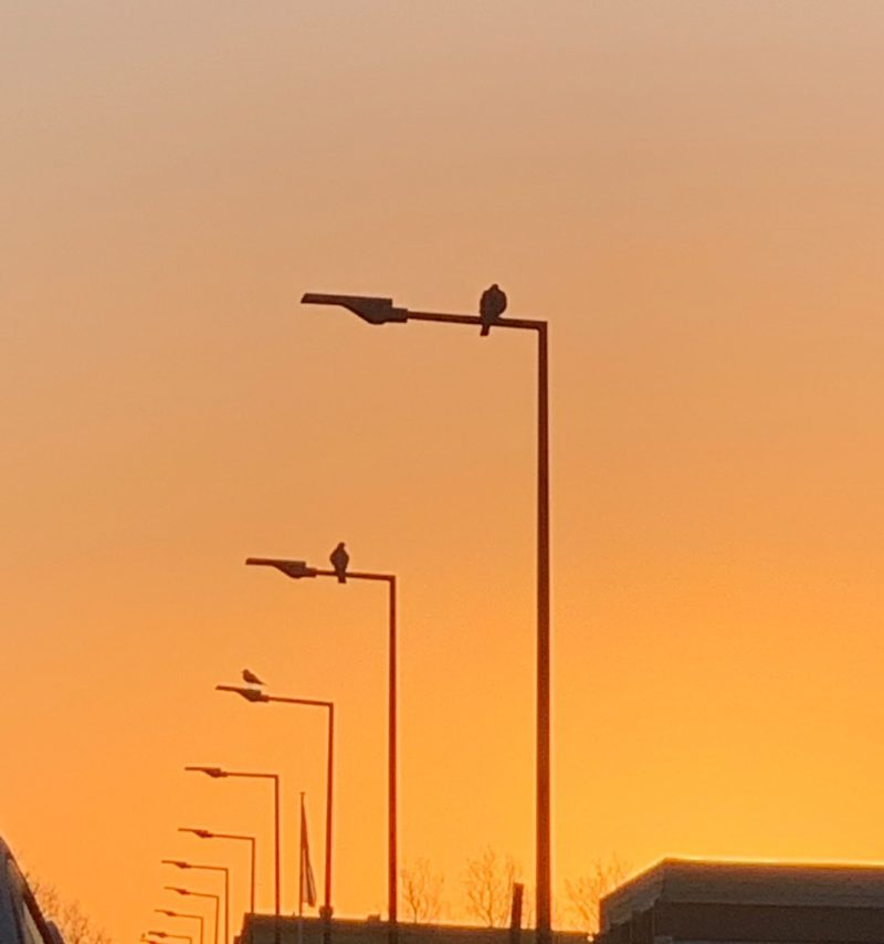 Row of streetlights in perspective against dawn sky with birds sitting atop.