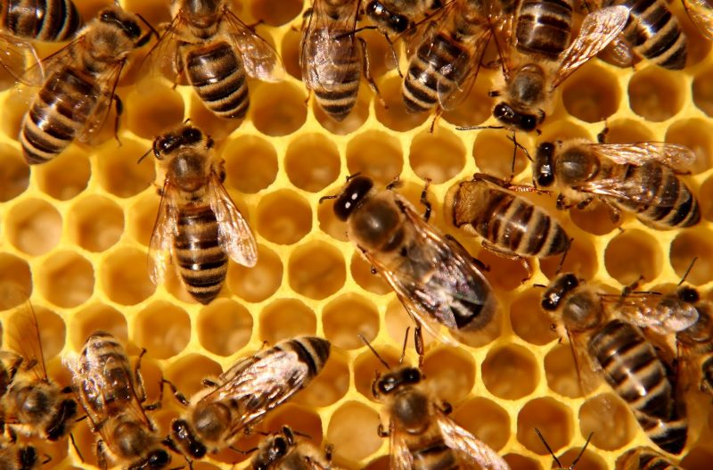 Many honey bees walking on wax honeycomb with open hexagonal chambers.