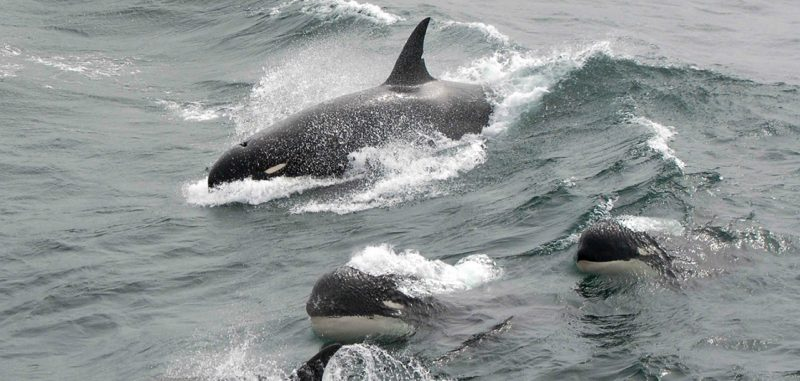 Black-and-white killer whales splashing through a large wave in open sea.