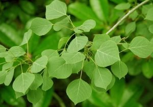 A cluster of flat, somewhat heart-shaped leaves.