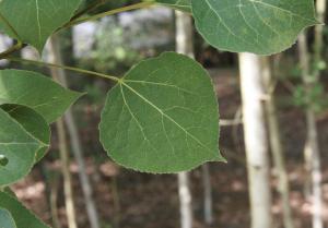 Flat, heart-shaped aspen leaves with thin, white aspen trunks in background.