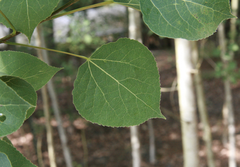 Flat, heart-shaped aspen leaves with thin, white aspen trunks in background.