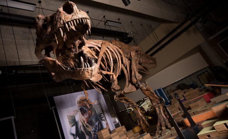 Skeleton of a dinosaur with an open mouth featuring many big teeth